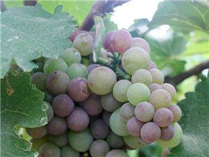 葡萄熟了,绿色水果,快去采摘吧!