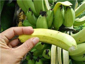 门前的那棵香蕉树,果子熟啦,味道真香