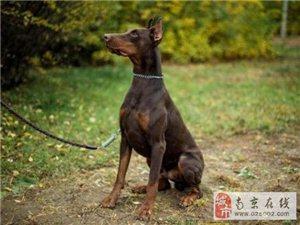 出售高品质立耳杜宾犬 保证身体健康