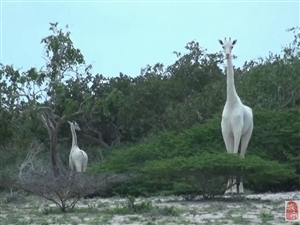 你见过纯白色的长颈鹿吗?不看就错过啦!