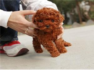 精品泰迪犬出售 玩具体 茶杯体 包纯种健康