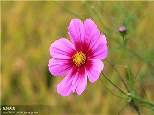 幸福是一朵八��花瓣的格桑花
