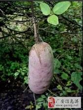 在华蓥山发现的野果,有认识的吗