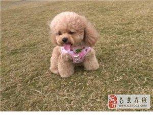 低价热销高品质韩系贵宾犬 售后服务有保障