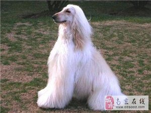 狗场特价转让高品质阿富汗猎犬 有质量承诺和保证