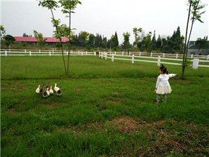 有爱心的朵朵,给小鹅喂食,和小鹅说话,与小鹅做朋友,爱心满满