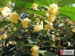 沙溪翁以自己院子的桂花与大家分享