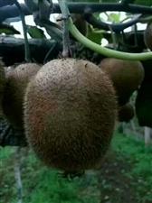 陕西老农自家的猕猴桃,开个淘宝店需要的来  货真价实