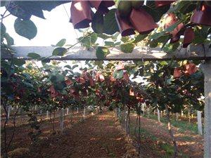 陕西眉县猕猴桃熟了,我家在卖。