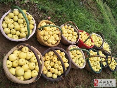 咸阳乾县阳洪镇泔河酥梨成熟了