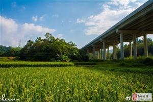 高州秋意渐浓,晚稻丰收在望了!