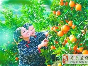 """定了!2017年赣南脐橙11月5日正式开摘!荣获""""中华名果""""等称号!"""