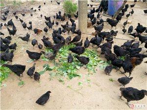 散养五黑鸡黑羽乌骨鸡出售18697701730
