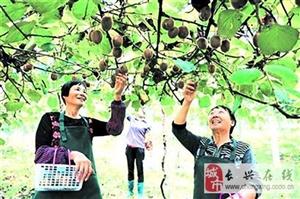 煤山镇十月村澜山农场猕猴桃熟了