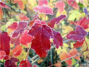 霜凌赏红枫,色染山谷浓。秋风过岗处,落叶悄无声。