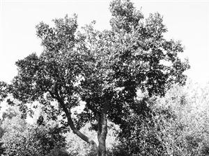 �]�古�涿�木�⒂猩矸葑C� 年�g最大的一株已有324�q