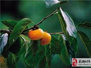 留几枚柿子在树上吧~