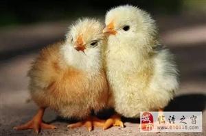 一只鸡的尊严,看完后恍然大悟