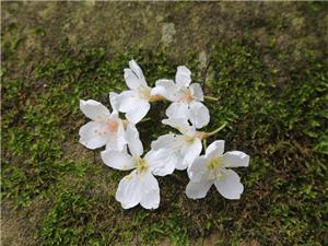这两天居然能够看到春天的桐花!好美腻