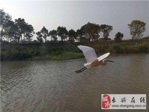 太湖图影湿地,白鹭飞舞太美了