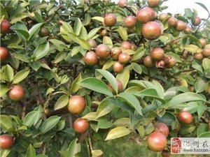 化州农村土法榨茶油的全过程,你见过吗!