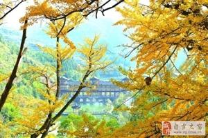妥乐古银杏11月最美、我们在贵州等你~
