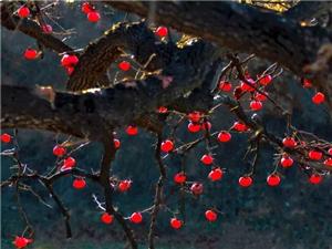 秋天的柿子树,摄影师是这么拍的……