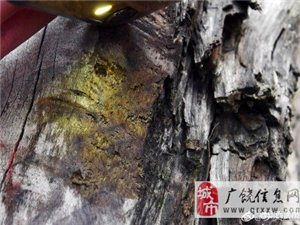 【湖北现明代金丝楠阴沉木:价值2千万 主人愿捐故宫】