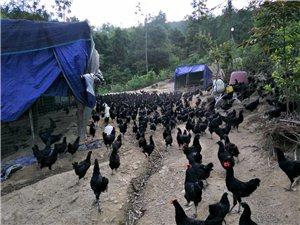 酉阳竟能吃到跑山印度战斗土鸡蛋,原来是这条的理由・・・