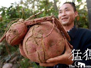 稀罕!荥阳农民种出巨无霸红薯;重16斤酷似兔子