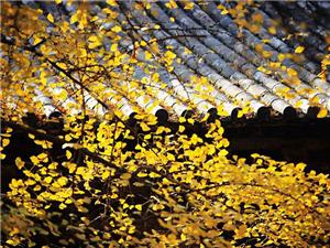 银杏千年,等候的是秋的思念
