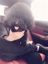 【寻找爱犬】11月8日晚9点20左右在广汉市金雁湖公园内丢失贵宾一只
