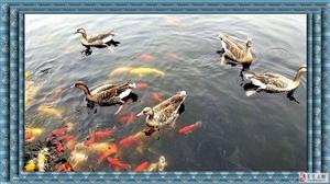 枕水�{�{天,嬉�虮趟��g。池畔�p松�Z,泡浴祛�n��!