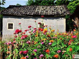龙潭这个村子的格桑花、非洲菊正在盛开,太美了!!