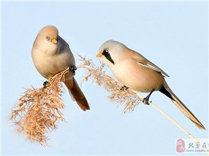 初冬的文须雀