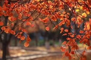 又见秋叶红