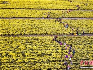 淮安白马湖畔金丝黄菊丰收 采摘场面壮观