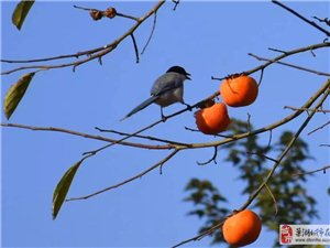 三瓜秋意浓,枝头鸟儿欢!