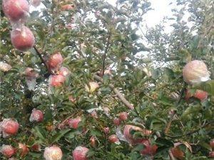山西平陆山地苹果,又红又脆,随时可以发货,有需要请拨打电话