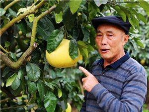 西河之滨柚子飘香――――-南部县徐家桥村玉睿柚子园掠影
