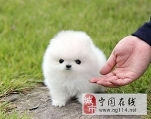出售纯种博美犬 包养活纯种博美出售