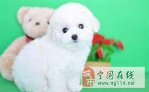 甜美脸型棉花糖版的比熊犬