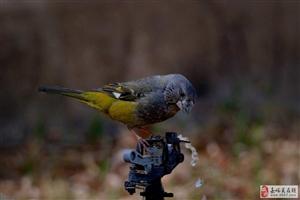 嘉峪关拍鸟(十五)腊嘴雀