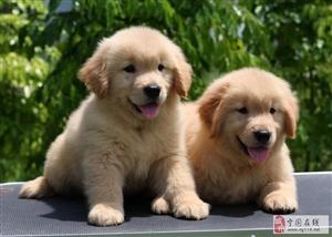 家养萌宠金毛幼犬 喜欢的联系我 本地的可以上门挑选