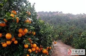 宁都益民果业,专营赣南脐橙,携手合作