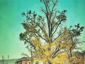手机随拍: 十里古银杏长廊,童话般的秋天