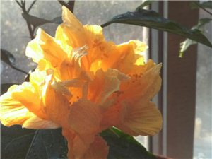 黄牡丹确实娇贵,相较其它花色品种而言养殖的难度要大些,不过还好,真的开花了!可爱的黄牡丹自称