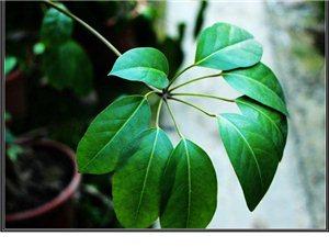 世界上没有相同的两片树叶,欣赏观叶、观茎植物,找我们-华亮园艺