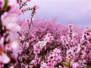 踏寻雪域桃花,遥望梨花人家。