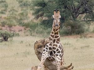 两狮子围捕追杀长颈鹿一幕